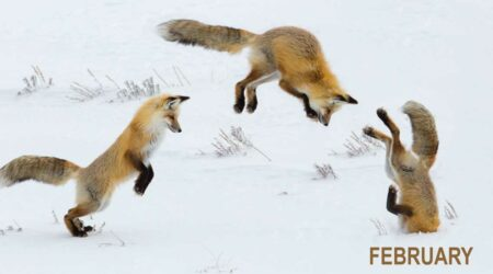 Investment foxes jumping image